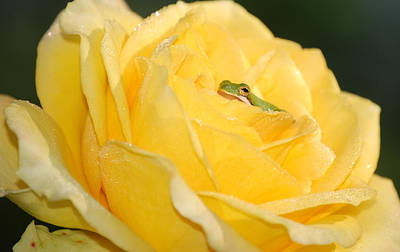 Frog In Yellow Rose Poster
