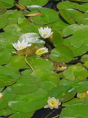 Frog With Water Lilies Poster