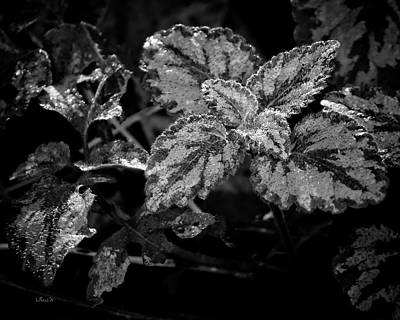 Frosted Hosta Poster