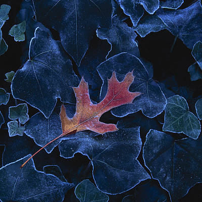 Frosted Leaf And Ivy Poster