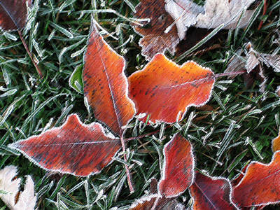 Poster featuring the photograph Frosted Leaves by Shari Jardina