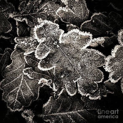 Frosted Oak Leaves . Poster