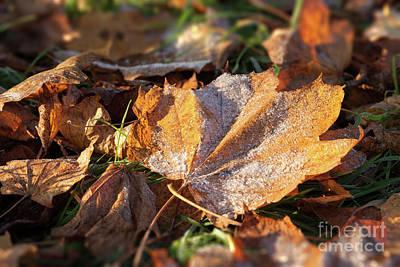 Frosty Fallen Autumn Oak Leaf Poster