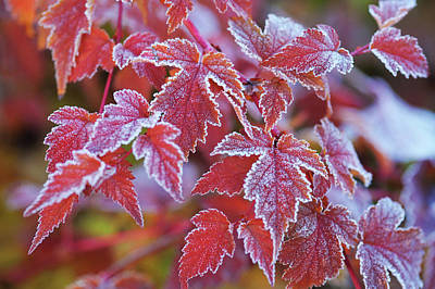 Frosty Foliage Poster by Jenny Rainbow