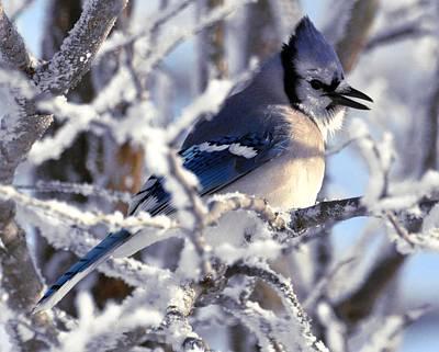 Frosty Morning Blue Jay Poster
