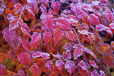 Frosty Red Leaves Poster by Jenny Rainbow