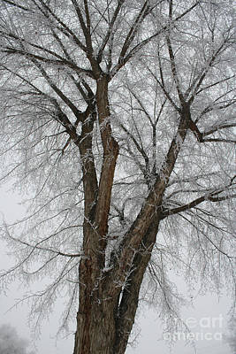 Frosty Tree Poster by Carol Groenen