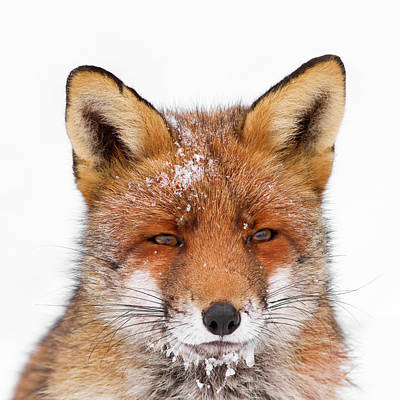 Frozen Fox Poster by Roeselien Raimond