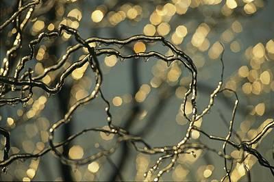 Frozen Twigs Of A Corkscrew Willow Poster by Raymond Gehman