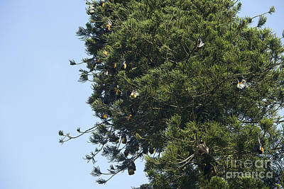 Fruit Bats In Trees Poster