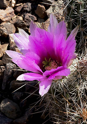 Poster featuring the photograph Fuchsia Cactus Blossom by Phyllis Denton