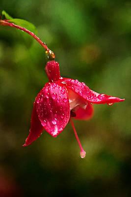 Fuchsia Drops Poster