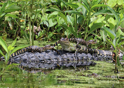Fun Baby Gators On Mama Poster by Carol Groenen