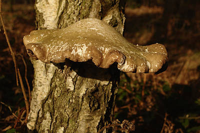 Fungus On Silver Birch Poster by Adrian Wale