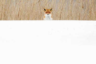 Funny Fox In The Snow Poster by Roeselien Raimond