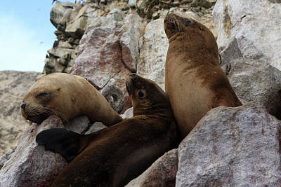 Fur Seals On The Ballestas Islands, Peru Poster by Aidan Moran