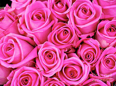 Fuschia Colored Roses Poster