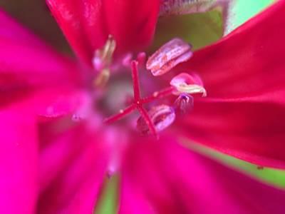 Fushia Flower Poster