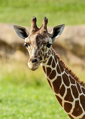 Poster featuring the photograph G Is For Giraffe by John Haldane