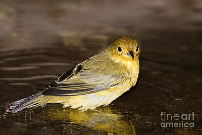 Galapagos Mangrove Warbler Poster by Dave Fleetham - Printscapes
