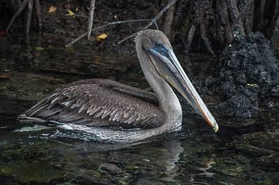 Galapagos Pelican Poster