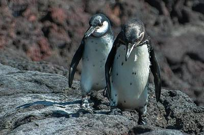 Galapagos Penguins  Bartelome Island Galapagos Islands Poster