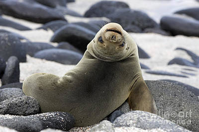 Galapagos Sea Lion Poster by David Hosking and Photo Researchers