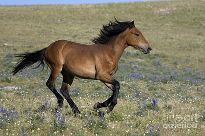 Galloping Mustang Poster by Jean-Louis Klein & Marie-Luce Hubert