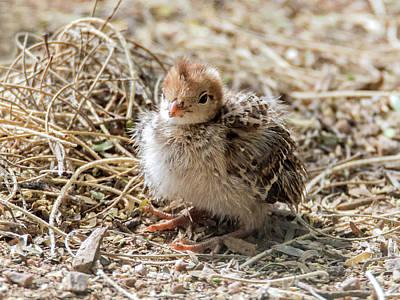 Gambel's Quail Chick 9584 Poster by Tam Ryan