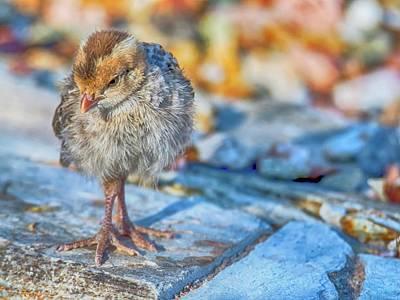 Gambel's Quail Chick 9833 Poster by Tam Ryan