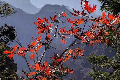 Gamble Oak In Crimson Fall Splendor Poster