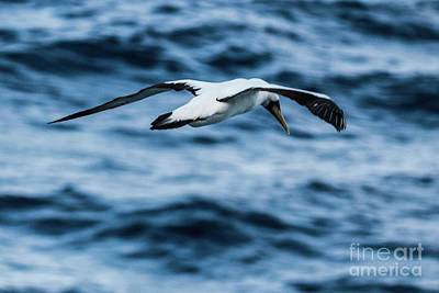 Gannet In The Caribbean Poster by Thomas Marchessault