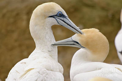 Poster featuring the photograph Gannet Pair 1 by Werner Padarin