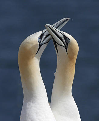Gannets In Love Poster