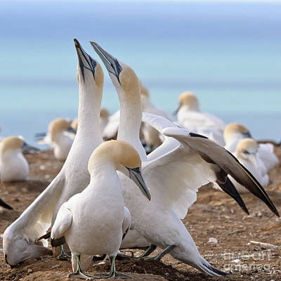 Poster featuring the photograph Gannets by Werner Padarin