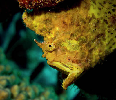 Gapping Frogfish Poster by Jean Noren