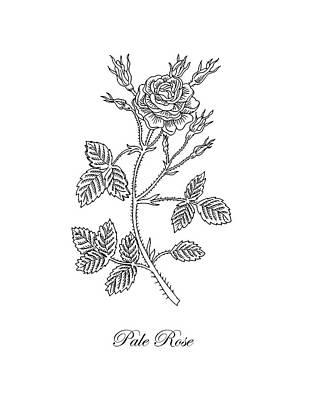 Garden Rose Botanical Drawing Black And White Poster
