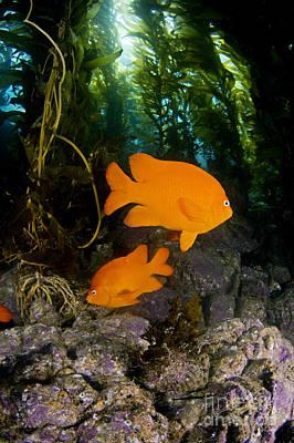 Garibaldi And Kelp Poster