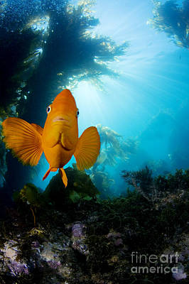 Garibaldi Fish Poster by Dave Fleetham - Printscapes