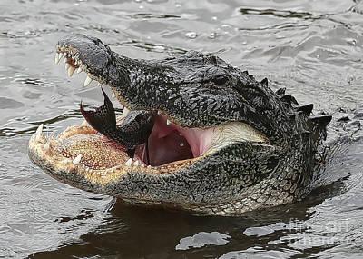 Gator Eating Fish Poster by Carol Groenen