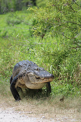Gator On The Move Poster by Carol Groenen