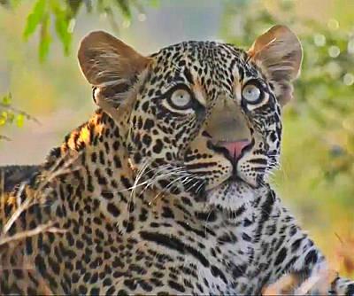 Gazing Leopard Poster