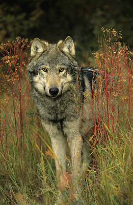 G&b Grambo, Male Grey Wolf In Clearing Poster by Rebecca Grambo
