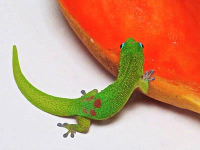 Gecko Eating Papaya Poster
