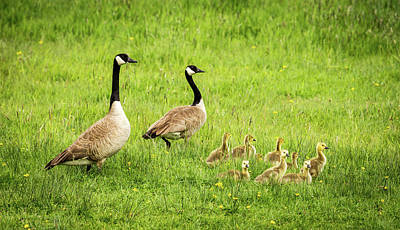 Geese And Goslings - Canada Geese Poster by TL Mair