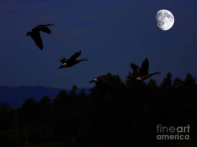 Geese Dancing In The Moon Poster by Wingsdomain Art and Photography
