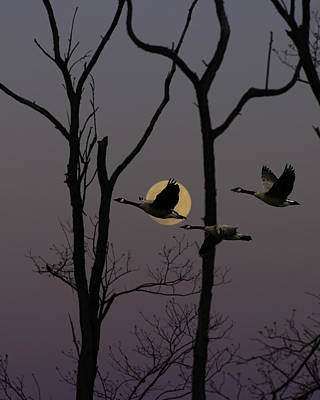 Geese Flying Past Moon Poster