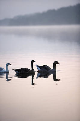 Geese On The Lake In The Mist Poster