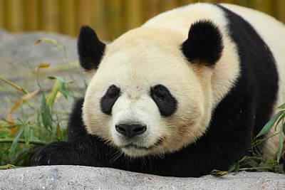 Gentle Giant - Giant Panda - Ailuropoda Melanoleuca Poster by Spencer Bush