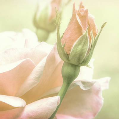 Gentle Roses Poster by Bob Orsillo
